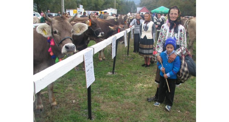 Dermatoza nodulară semnalată la 15 km de Pristol-Mehedinţi! Târgurile de animale rămân închise pentru vaci şi porci!
