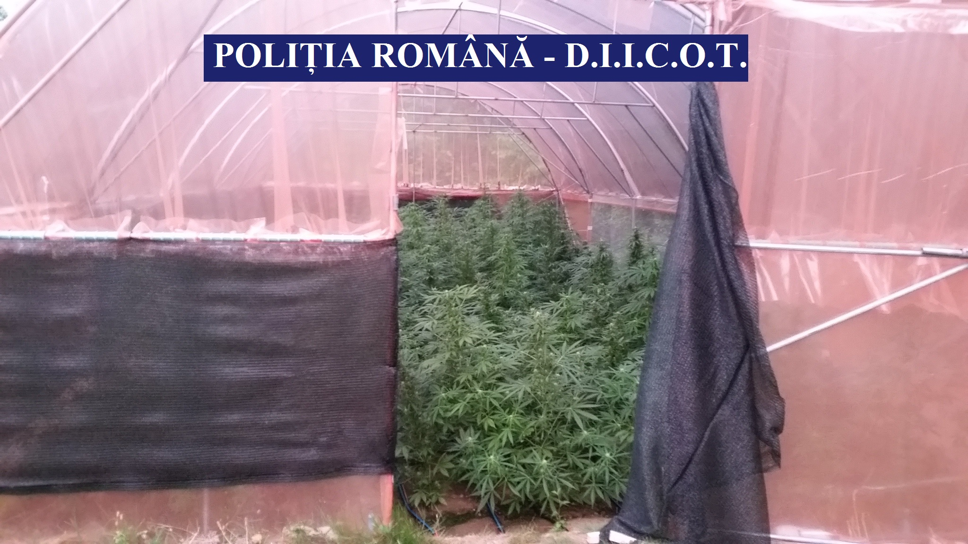 Cultivau cannabis în solari