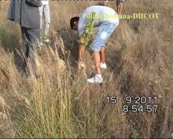 Craioveanul cu plantaţia de canabis de la Cârcea, condamnat pentru infracţiuni rutiere, menţinut după gratii