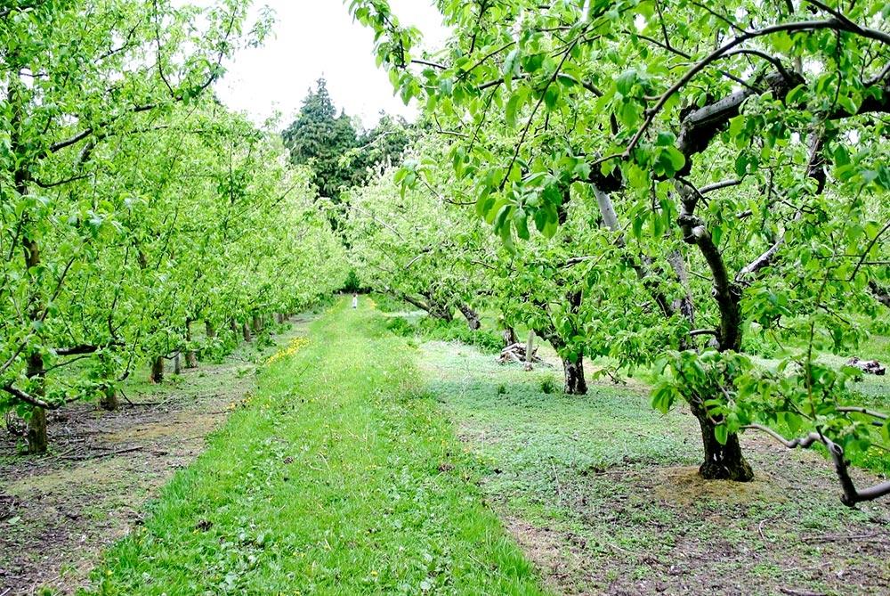 În Gorj, pomii au înflorit a doua oară