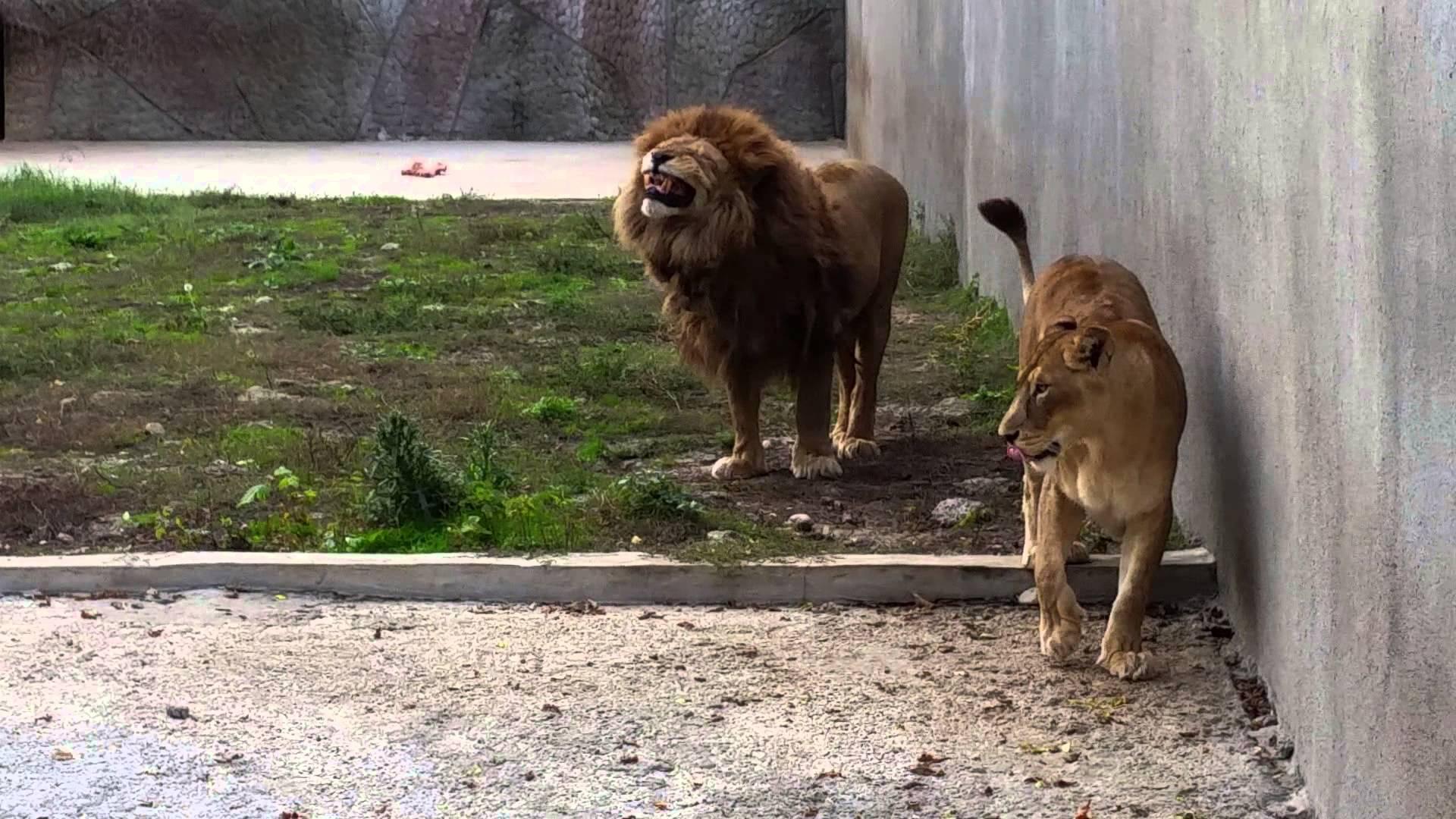 Zoo Craiova mai are doar patru lei. O leoaică a decedat