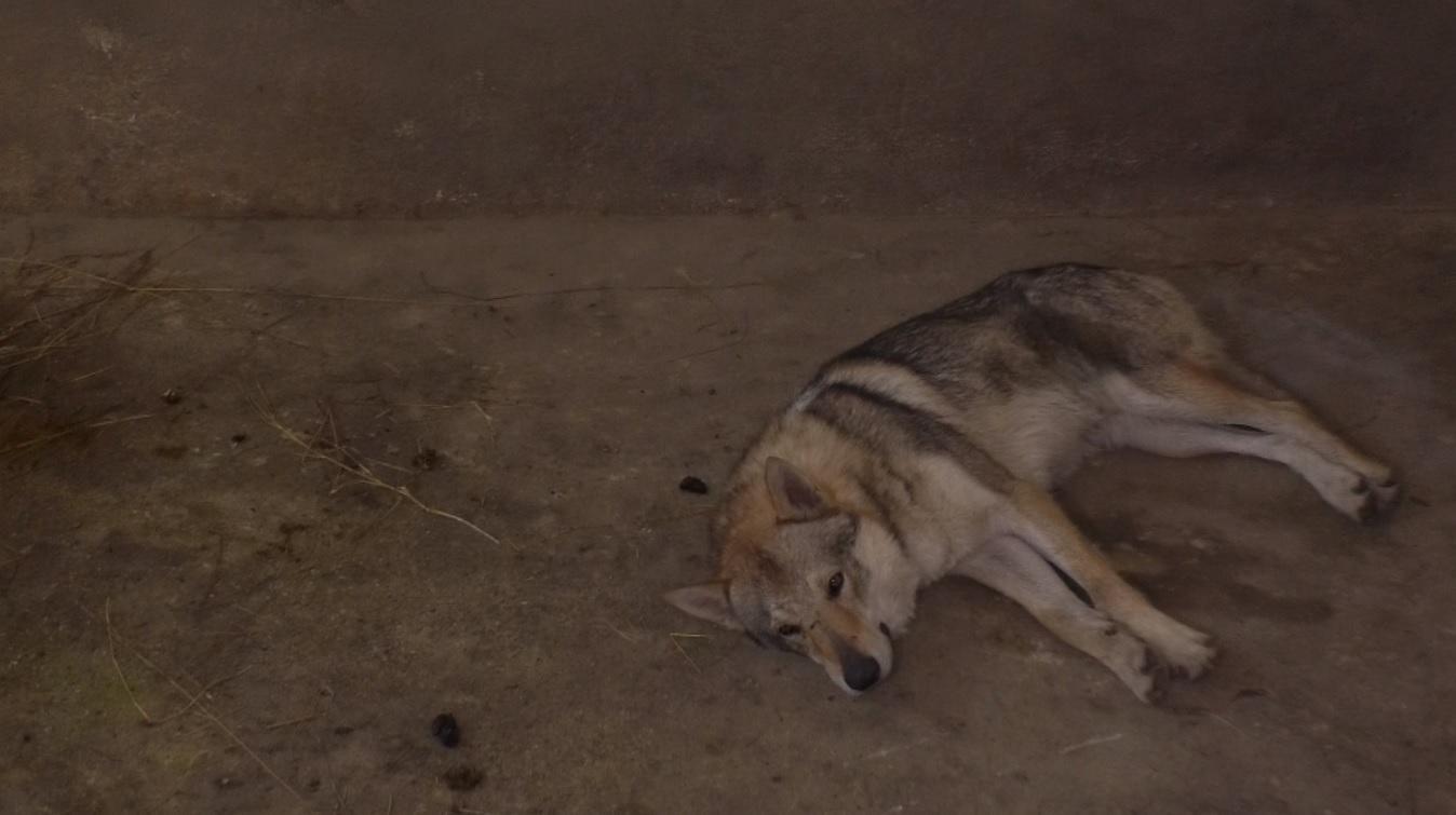 """Craiova: Lupul din Parcul """"Romanescu"""" era, de fapt, un câine obișnuit"""