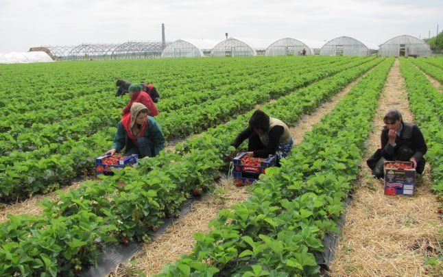 Vâlcea. Locuri de muncă în domeniul agricol, în Spania