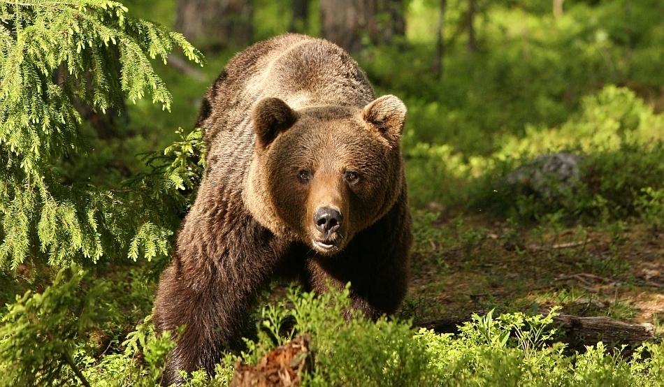 Urșii, un real pericol pentru angajații și pacienții spitalului din Dobrița