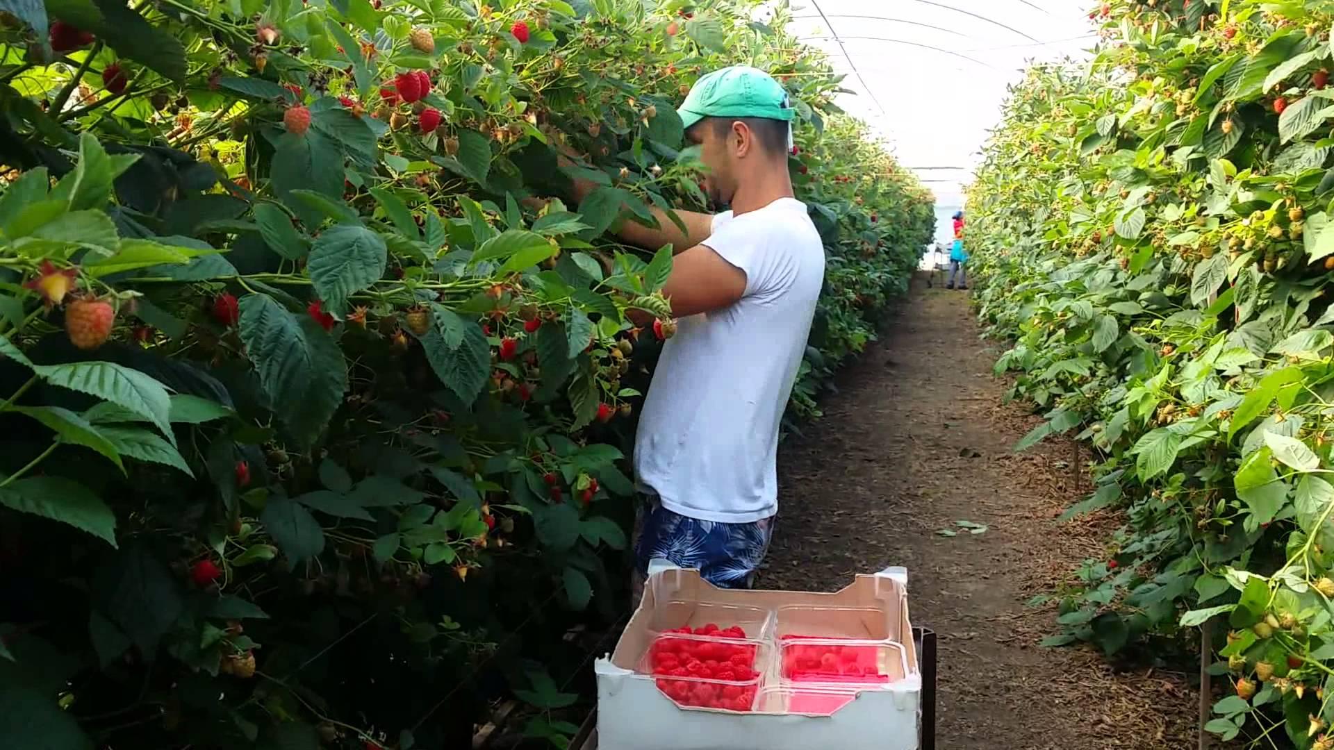 300 de locuri de muncă la cules de zmeură în Portugalia
