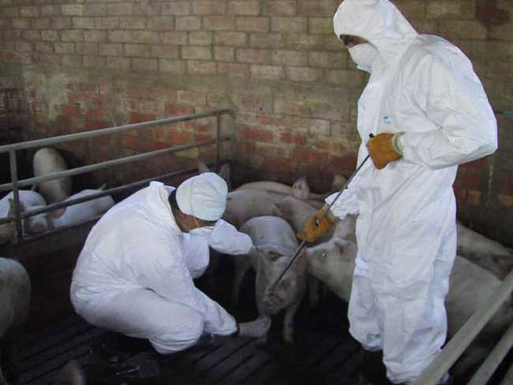 Ultimă oră! Pesta porcină africană, în județul Dolj