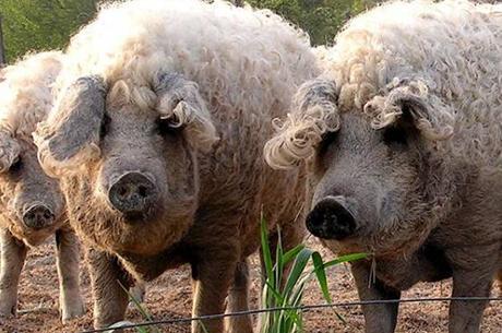 Carnea de Mangaliță de la Dăbuleni va ajunge și în Craiova. Direcția pentru Agricultură Dolj vrea cooperativă pentru produse tradiționale