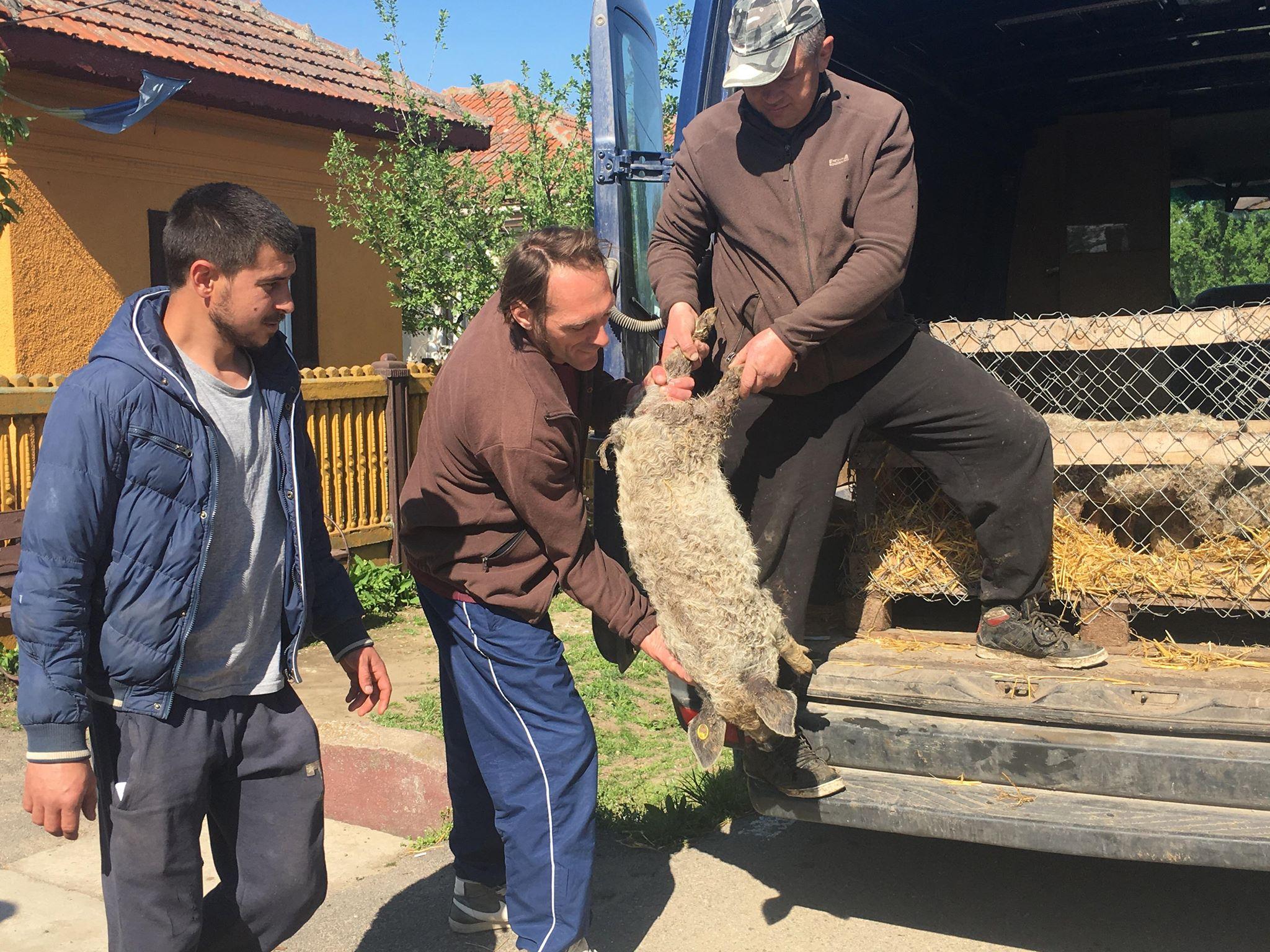Prima livrare de porci din rasa Mangaliţă în judeţul Dolj. O familie din Brădeşti a ales varianta maximă