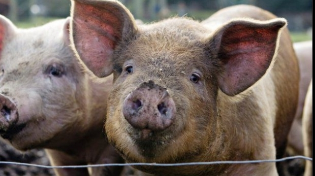 """3.000 de porci, uciși """"preventiv"""""""