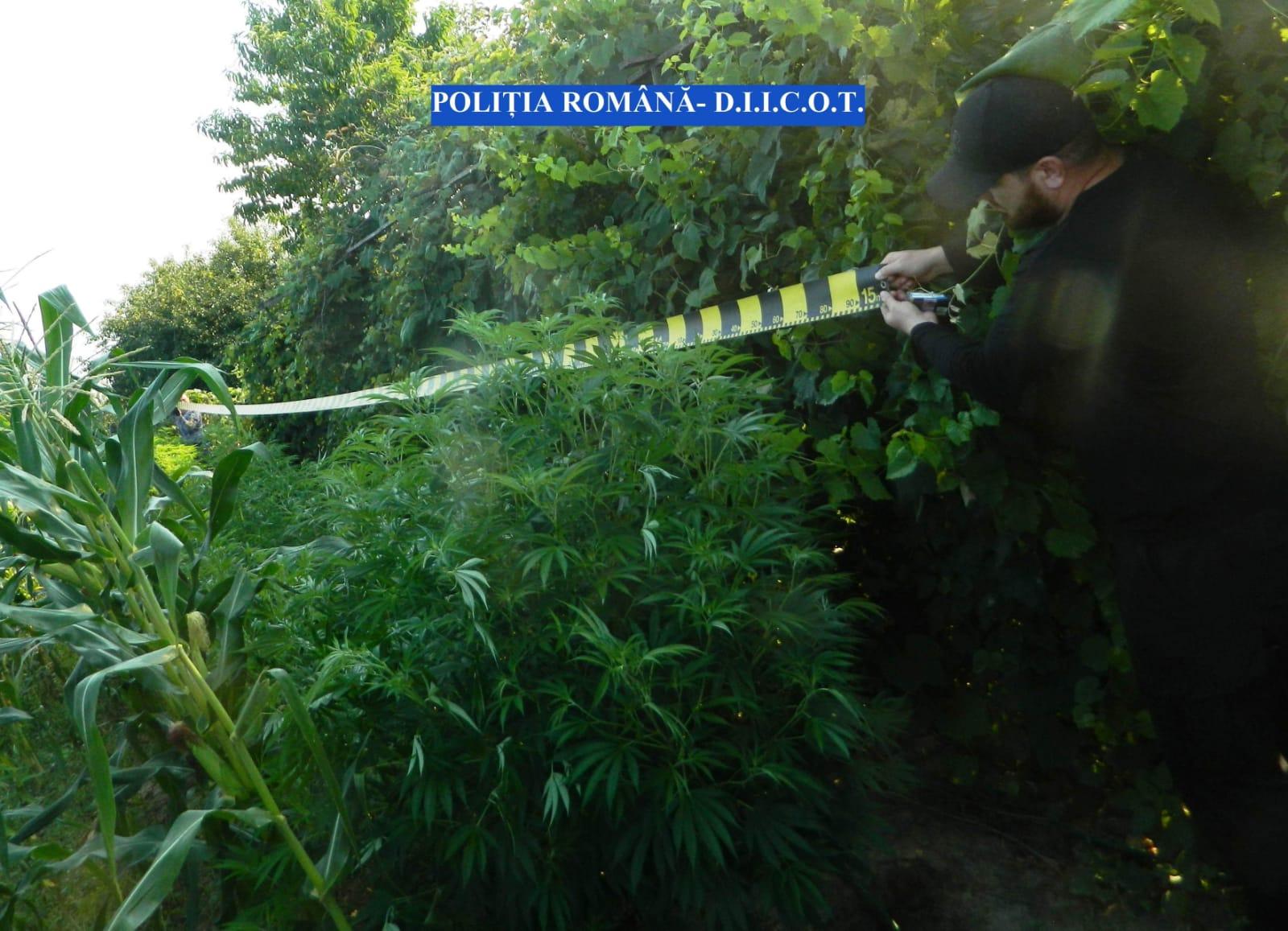 Cultură de cannabis în curtea unor olteni din Tufeni