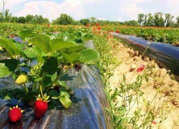 Mehedinți. Locuri de muncă sezonieră în agricultură, în Spania