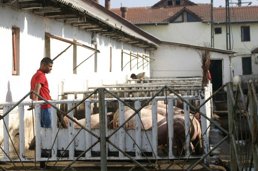 """Fermier din Mehedinți: ,,Pesta porcină va distruge industria alimentară"""""""