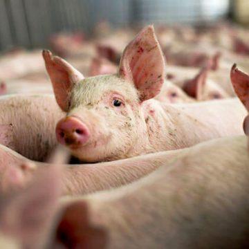 Peste 1000 de porci, ucişi. Pesta cuprinde Doljul