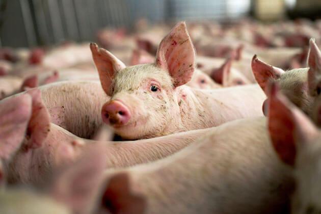 O nouă suspiciune de pestă porcină la Rusăneşti