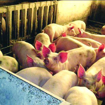 Doljenii din satele învecinate comunei Secu s-au apucat să taie porcii
