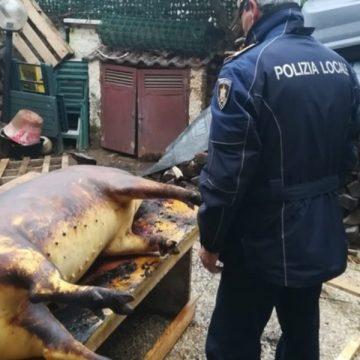 Patru români din Italia riscă închisoarea după ce au tăiat porcul în curte, de sărbători