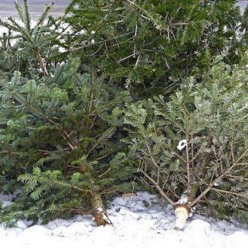 Brazii de Crăciun, ridicaţi de angajaţii de la Salubritate