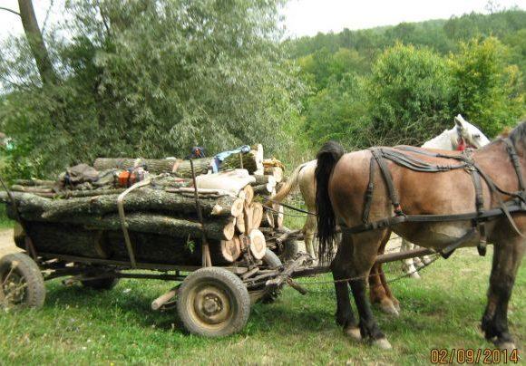Prins de polițiști când transporta zeci de arbori cu căruța