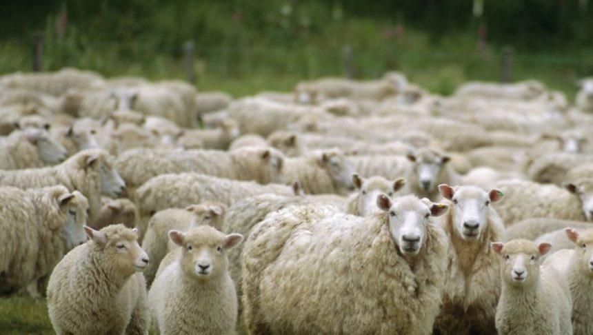 Crescătorii de ovine vor primi şi anul acesta un ajutor de minimis pentru comercializarea lânii