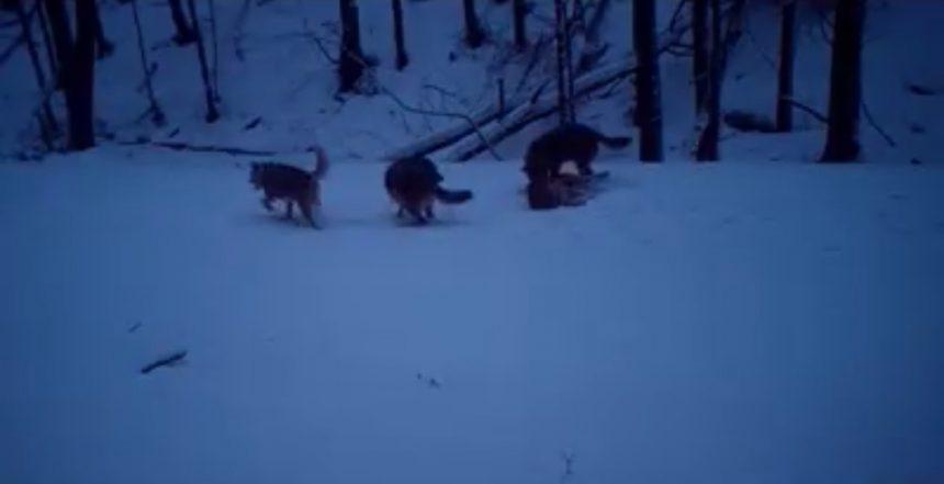 VIDEO/ Lupi cu chef de joacă, într-o pădure din Parcul Natural Portile de Fier