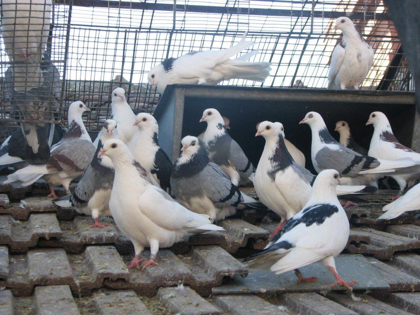 Mehedinți: Tineri, cercetați penal pentru furt de porumbei
