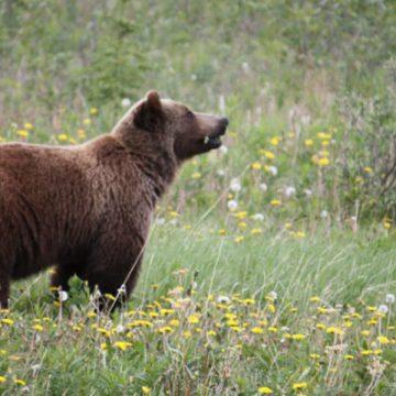 Gorj: Un urs a fost văzut în satul Curpen