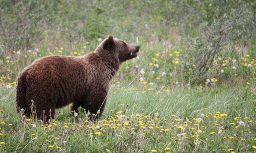 Urs, observat în zona Mănăstirii Cozia. Populaţia, avertizată prin RO-ALERT