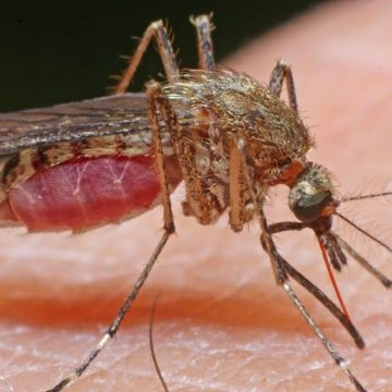 Târgu Jiu, invadat de ţânţari