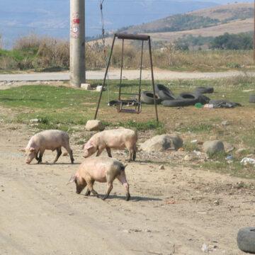 Mehedinți: Focar de pestă porcină la un viceprimar