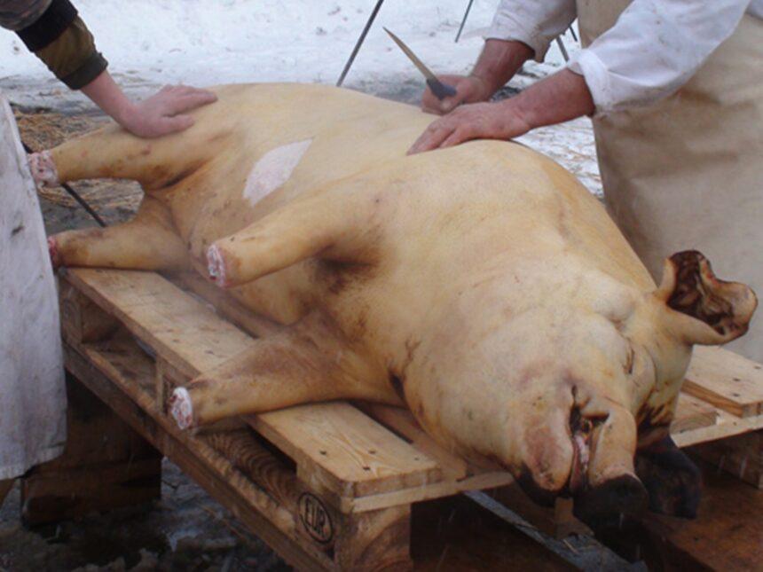 Gorj. Peste 40.000 de porci sacrificați de Crăciun