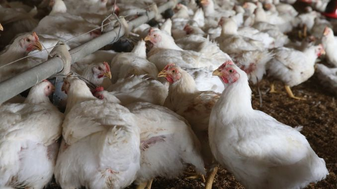Gripă aviară, depistată într-o fermă de tip comercial din Maramureş