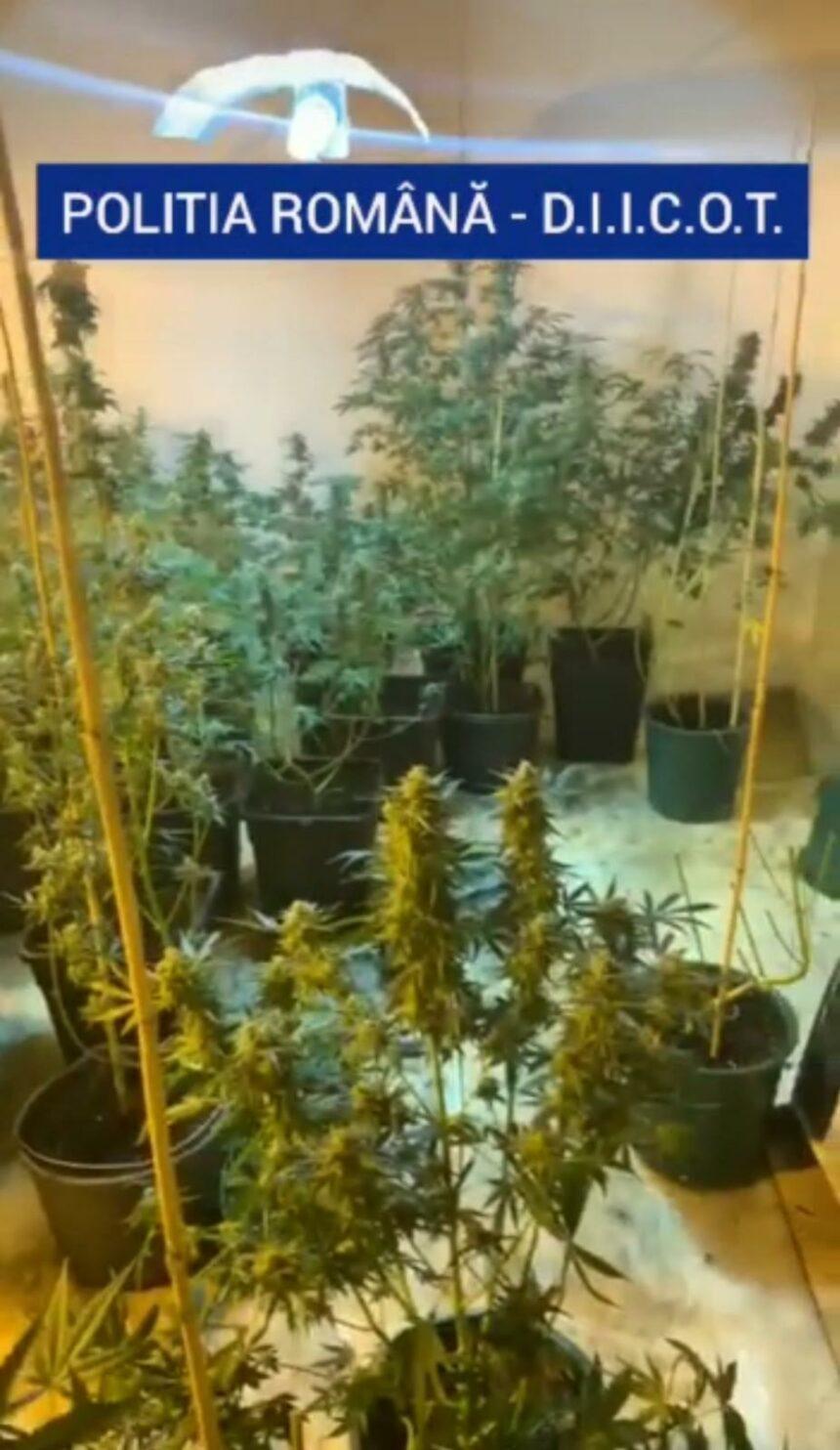 Culturi de cannabis în Dolj