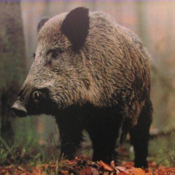 Mehedinți: Focar de pestă porcină africană, de la un mistreț, la Burila Mare